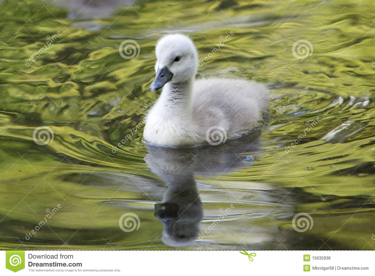 Cygnet clipart #14, Download drawings