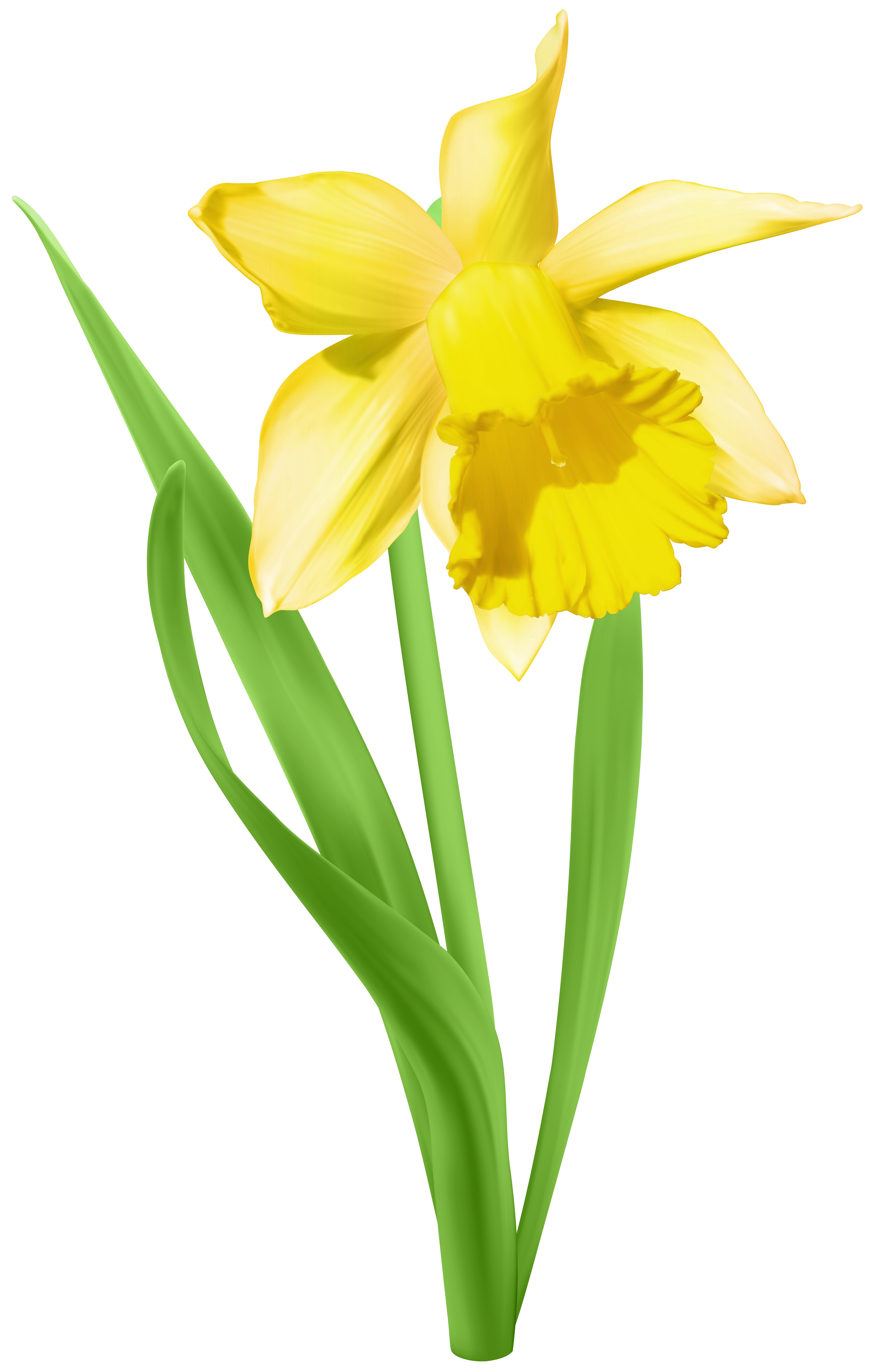 Daffodil clipart #2, Download drawings