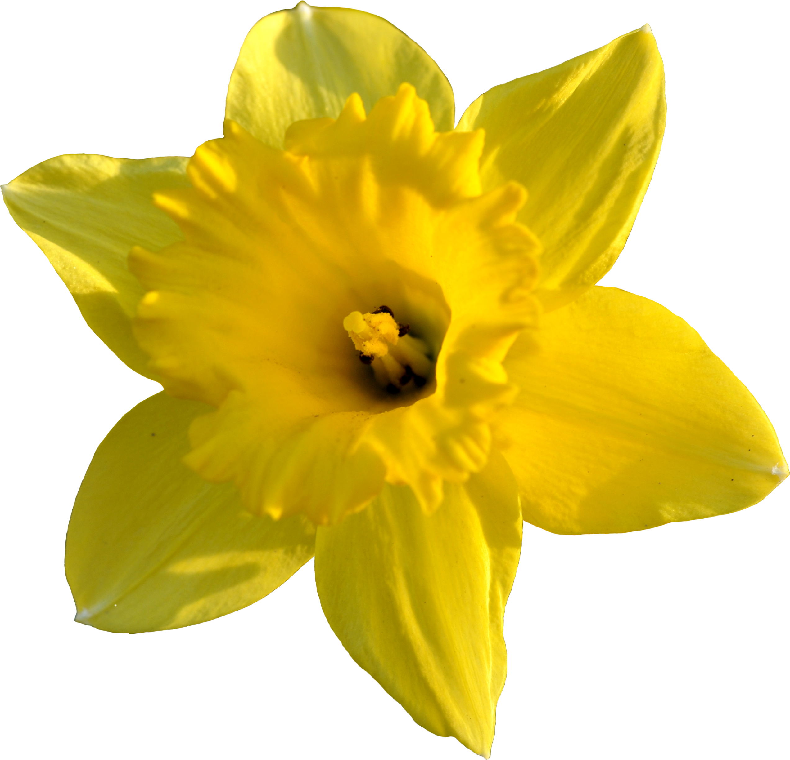 Daffodil clipart #3, Download drawings