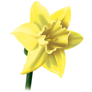 Daffodil clipart #9, Download drawings