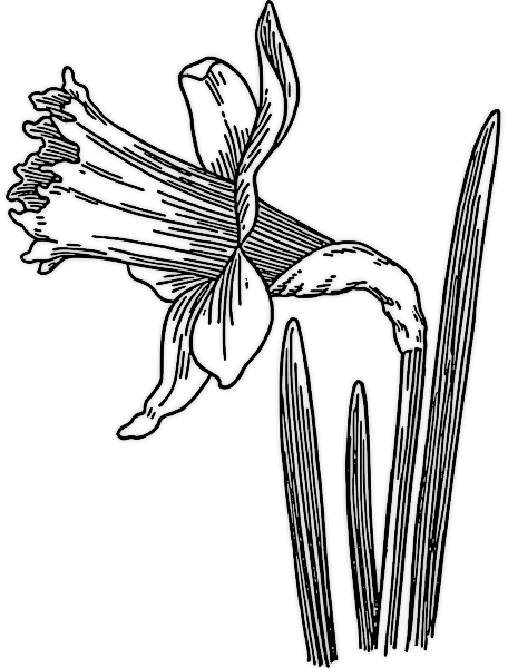 Daffodil clipart #10, Download drawings