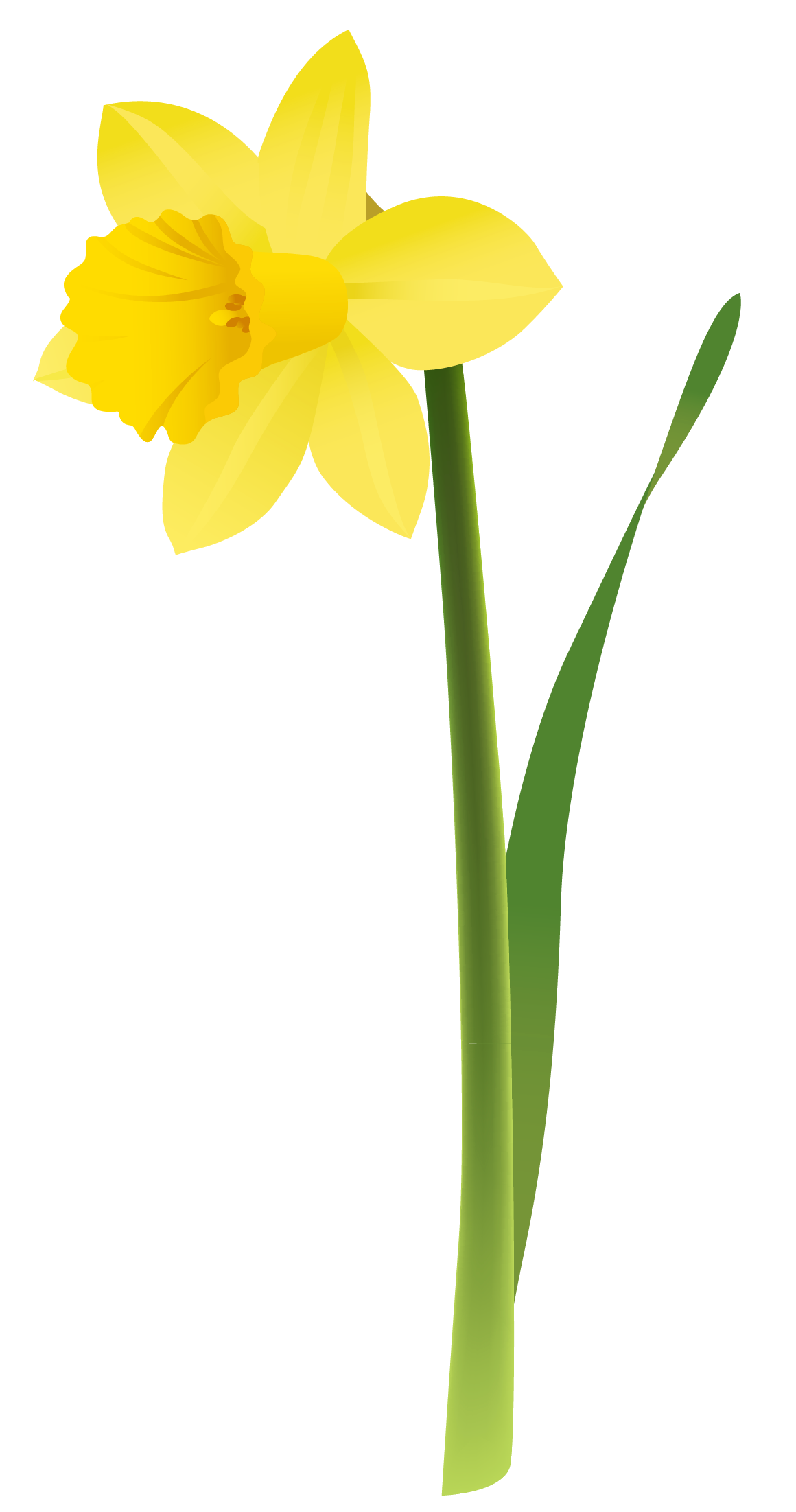 Daffodil clipart #4, Download drawings