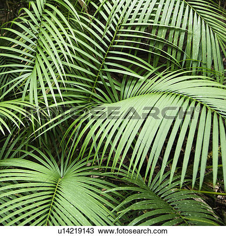 Daintree Rainforest clipart #10, Download drawings