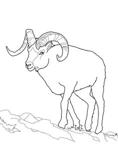 Dall Sheep coloring #17, Download drawings