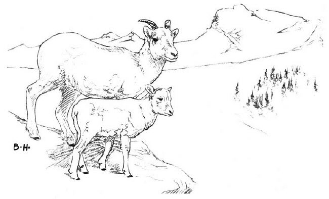 Dall Sheep coloring #4, Download drawings