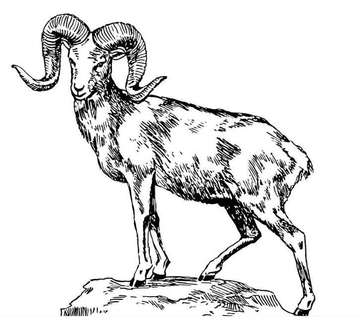 Dall Sheep coloring #2, Download drawings