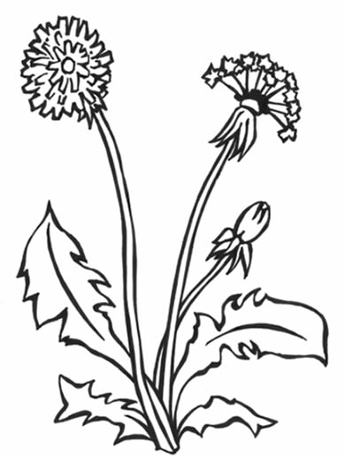 Dandelion coloring #7, Download drawings