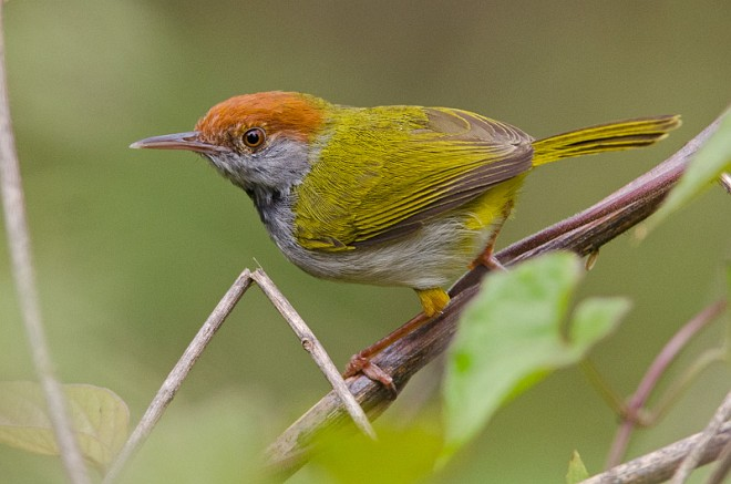 Dark-necked Tailorbird coloring #13, Download drawings