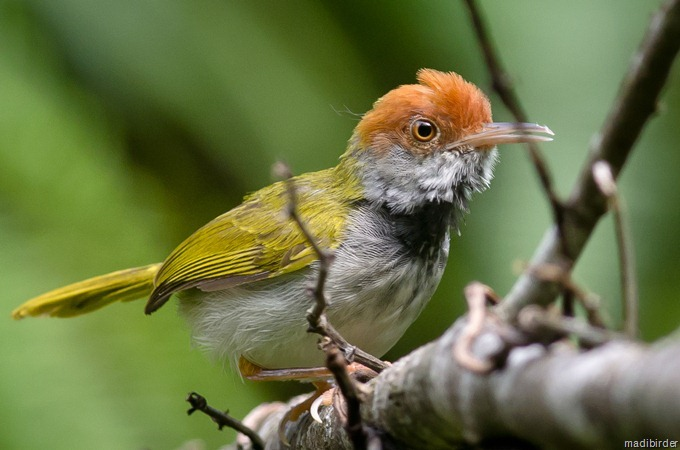 Dark-necked Tailorbird coloring #19, Download drawings