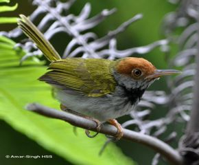 Dark-necked Tailorbird coloring #10, Download drawings