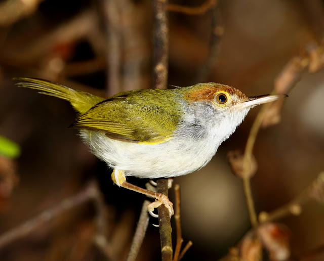 Dark-necked Tailorbird coloring #16, Download drawings