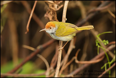 Dark-necked Tailorbird coloring #11, Download drawings