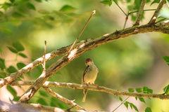 Dark-necked Tailorbird clipart #18, Download drawings