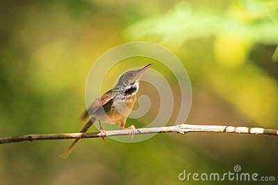 Dark-necked Tailorbird clipart #9, Download drawings
