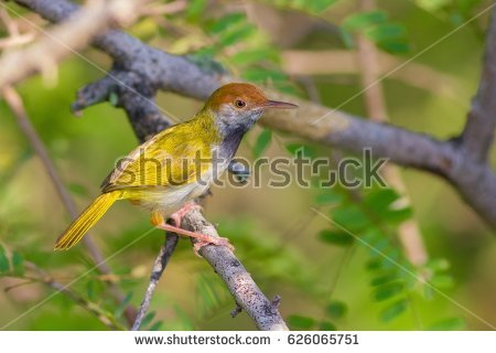 Dark-necked Tailorbird clipart #13, Download drawings