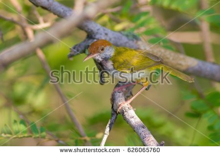 Dark-necked Tailorbird clipart #17, Download drawings