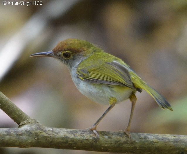 Dark-necked Tailorbird coloring #12, Download drawings