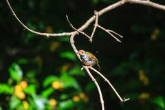 Dark-necked Tailorbird clipart #10, Download drawings