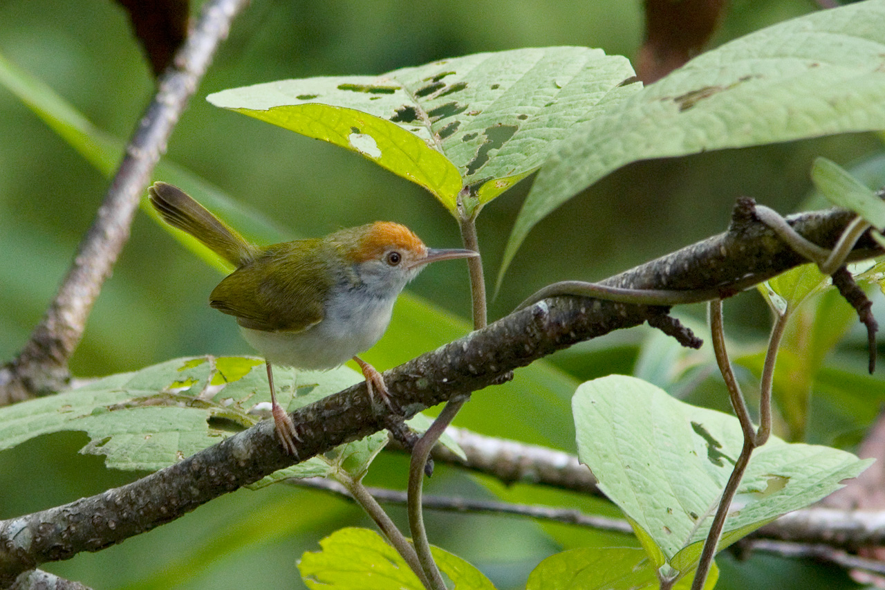 Dark-necked Tailorbird coloring #17, Download drawings