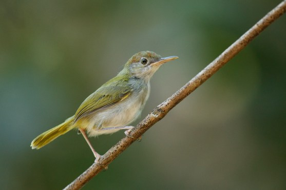 Dark-necked Tailorbird clipart #2, Download drawings