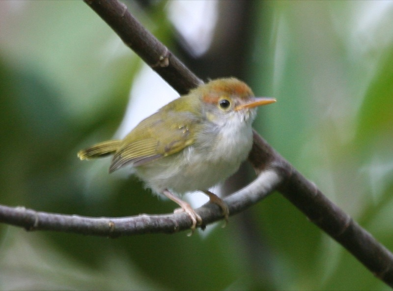 Dark-necked Tailorbird coloring #18, Download drawings