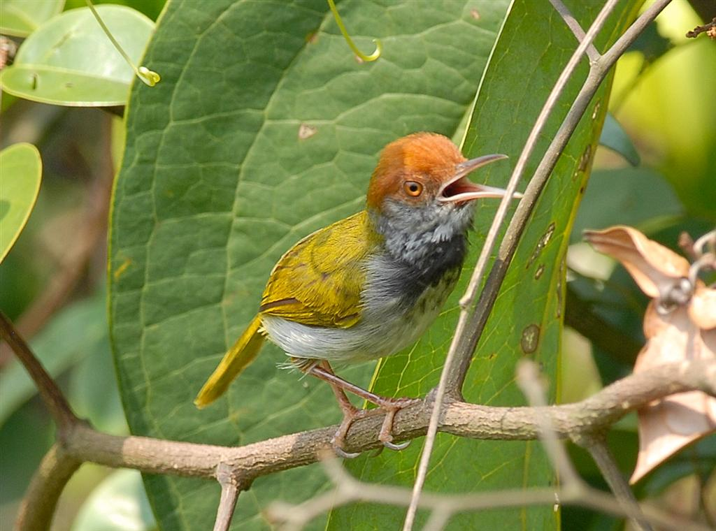 Dark-necked Tailorbird coloring #15, Download drawings