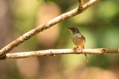 Dark-necked Tailorbird clipart #20, Download drawings