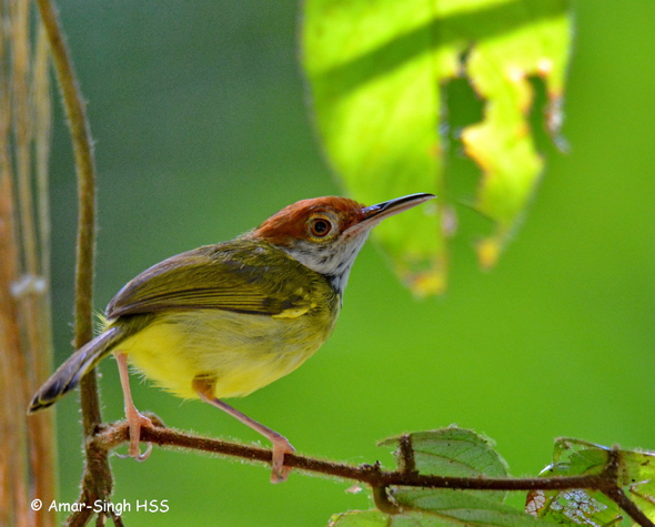 Dark-necked Tailorbird clipart #19, Download drawings