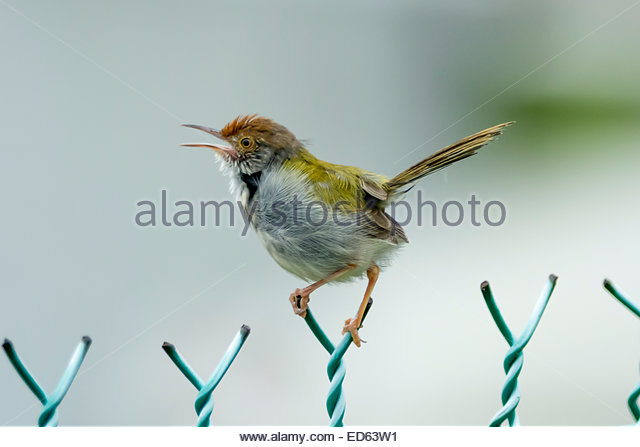 Dark-necked Tailorbird coloring #2, Download drawings