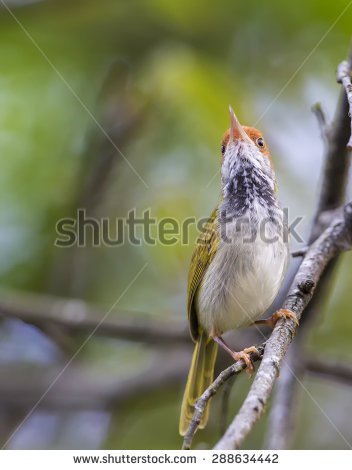 Dark-necked Tailorbird coloring #8, Download drawings