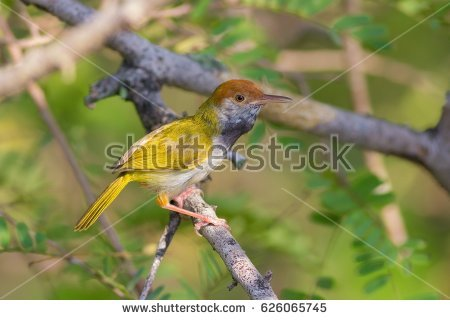 Dark-necked Tailorbird coloring #9, Download drawings