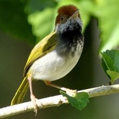 Dark-necked Tailorbird coloring #7, Download drawings