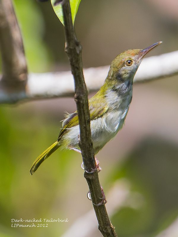 Dark-necked Tailorbird coloring #5, Download drawings