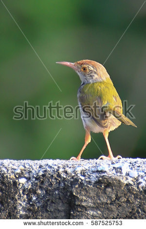 Dark-necked Tailorbird coloring #3, Download drawings