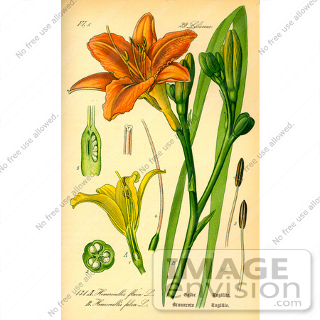 Daylily clipart #13, Download drawings