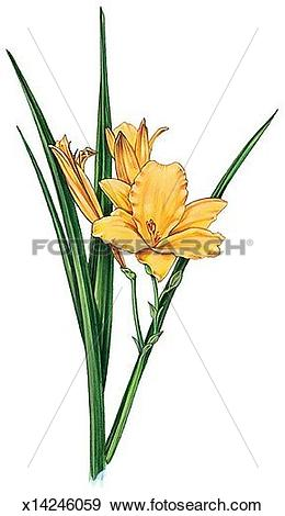 Daylily clipart #11, Download drawings