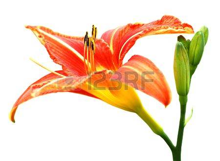 Daylily clipart #5, Download drawings