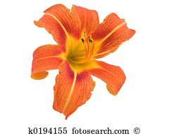 Daylily clipart #19, Download drawings