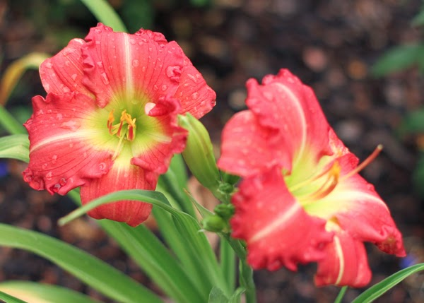 Daylily coloring #14, Download drawings