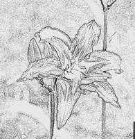 Daylily coloring #7, Download drawings