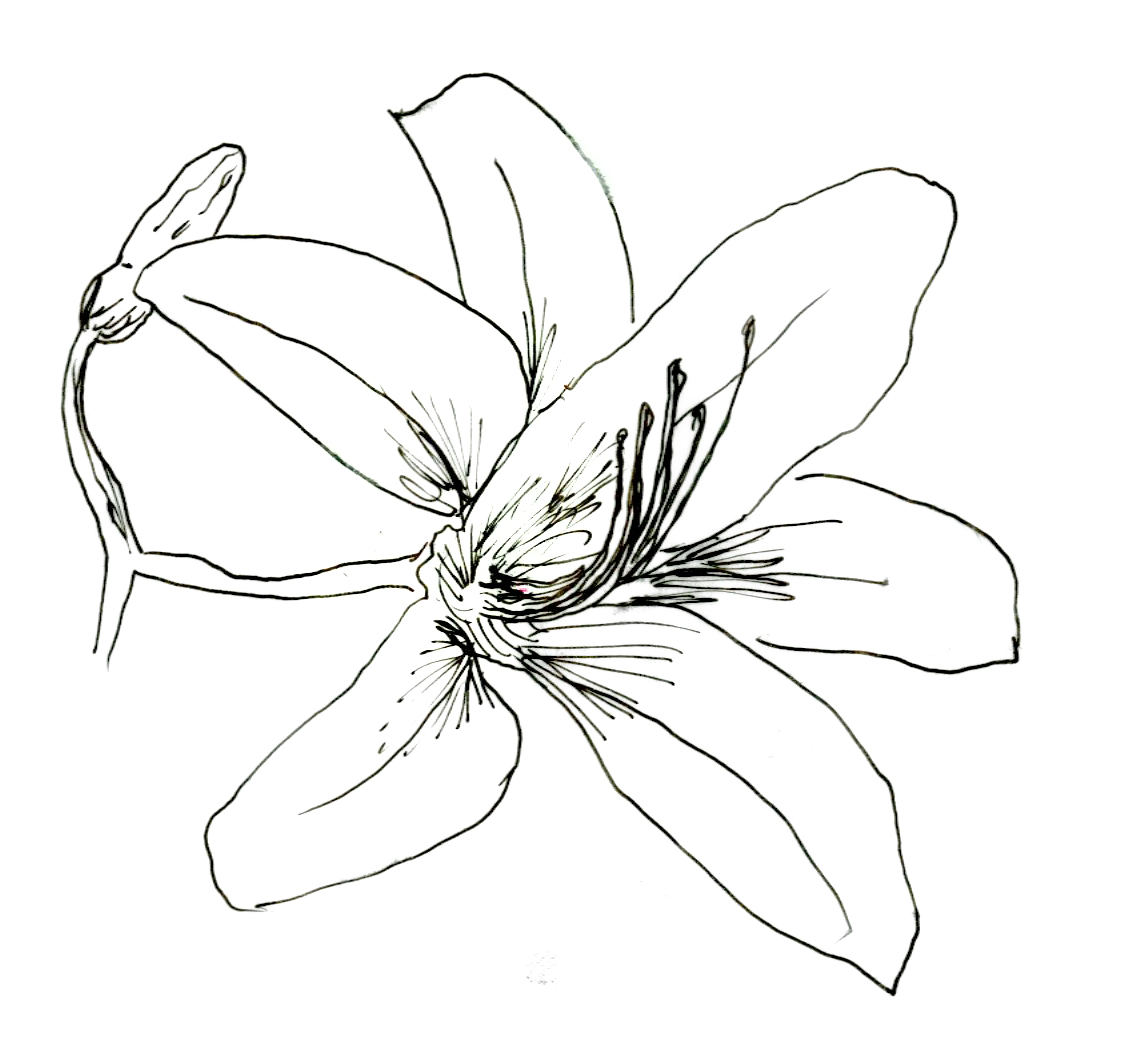 Daylily coloring #17, Download drawings