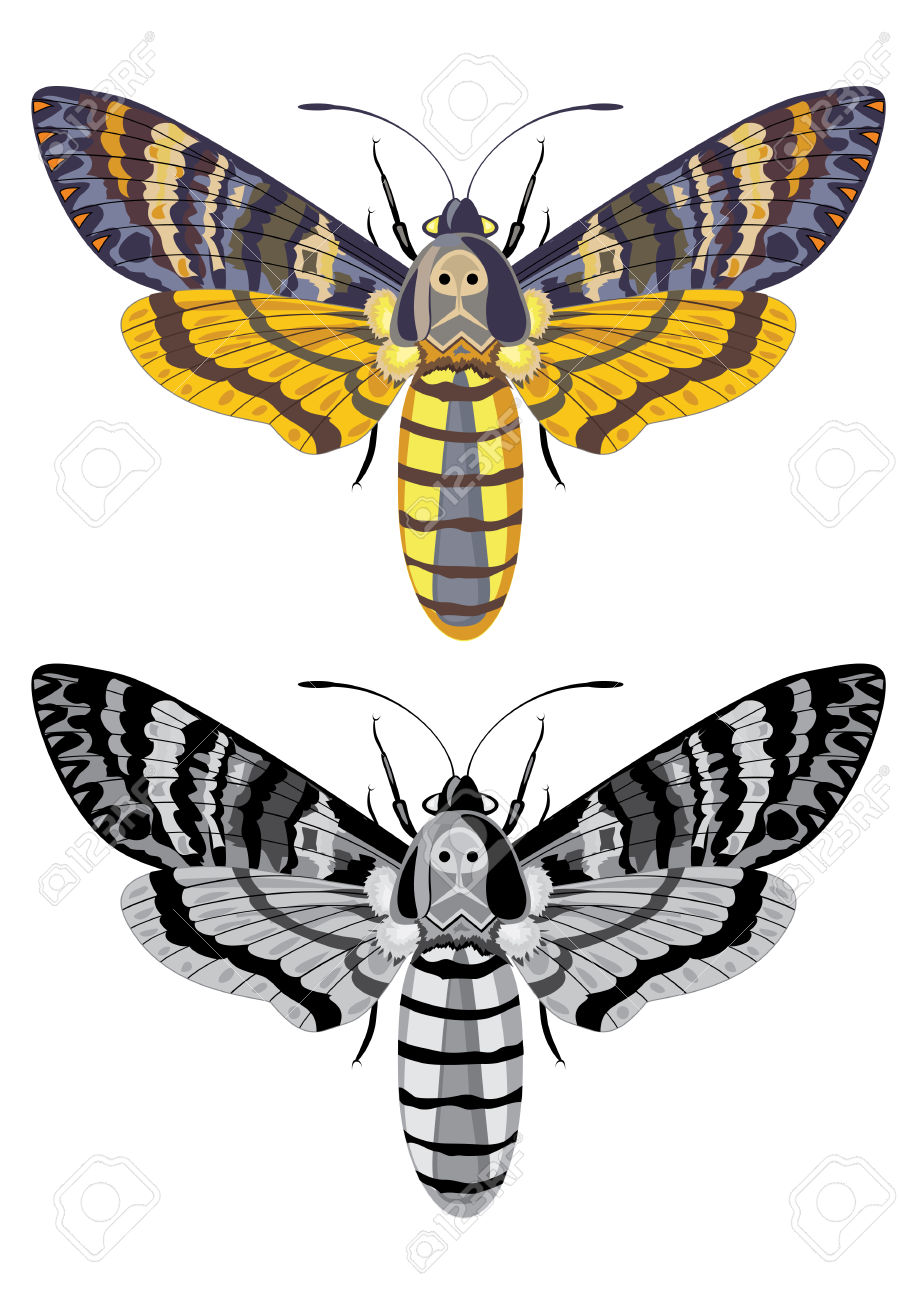 Deaths Head Moth clipart #4, Download drawings