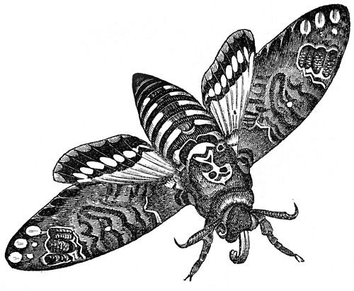 Deaths Head Moth clipart #12, Download drawings
