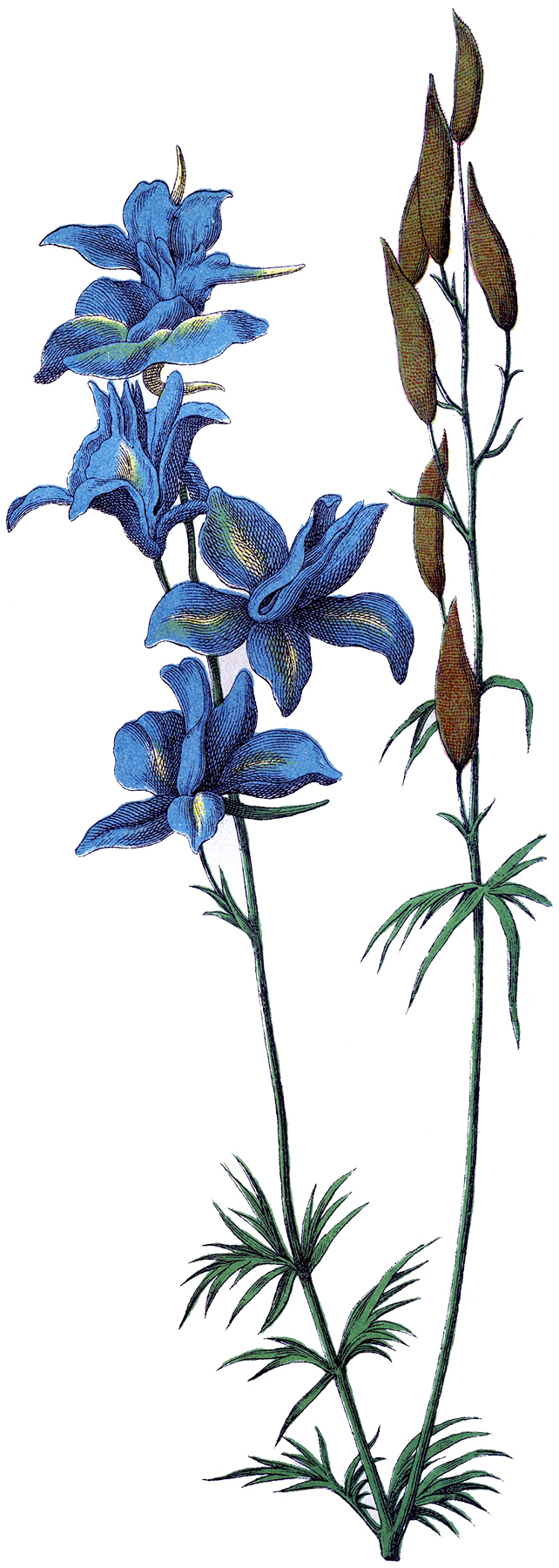 Delphinium clipart #4, Download drawings