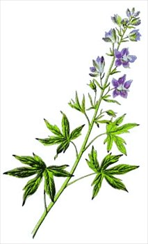 Delphinium clipart #18, Download drawings