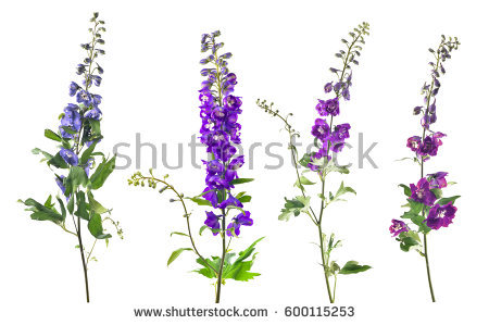 Delphinium clipart #11, Download drawings