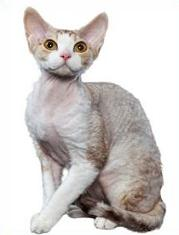 Devon Rex clipart #15, Download drawings