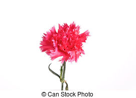 Dianthus clipart #12, Download drawings