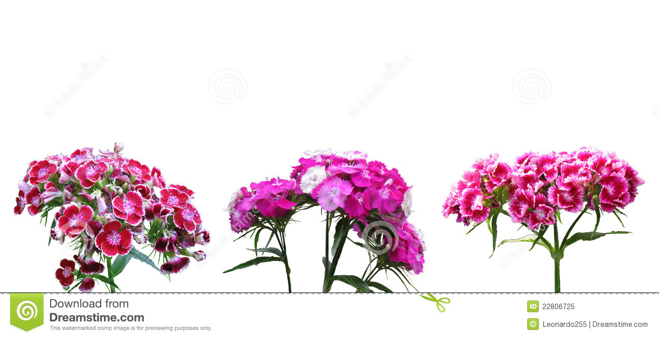 Dianthus clipart #17, Download drawings
