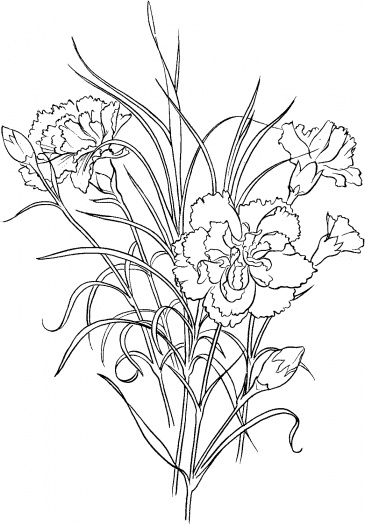 Dianthus coloring #20, Download drawings